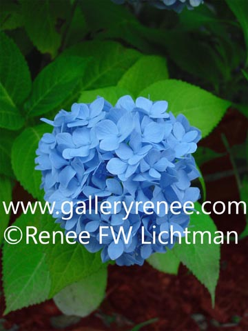 """Blue Hydrangea"" Photography, Botanical and Floral Art Gallery, Garden Flower Art Gallery, Photographic Art Gallery, Fine Art for Sale from Artist Renee FW Lichtman"