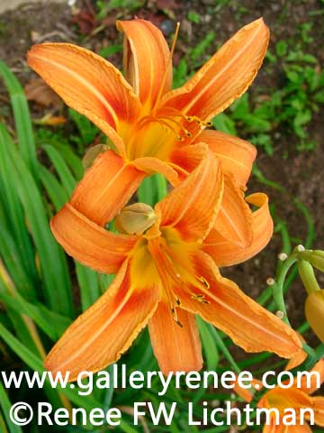 """Orange Day Lily"" Photography, Botanical and Floral Art Gallery,Garden Flower Art Gallery, Photographic Art Gallery, Fine Art for Sale from Artist Renee FW Lichtman"