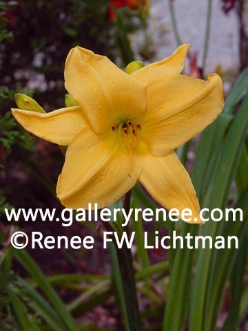"""Yellow Day Liliy"" , Botanical and Floral Art Gallery, Garden Flower Art Gallery, Photographic Art Gallery, Fine Art for Sale from Artist Renee FW Lichtman"
